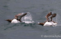 Guillemots taking off (Uria aalge)
