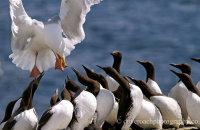 Herring Gulls after Guillemot chicks (Larus argentatus) (Uria aalge)