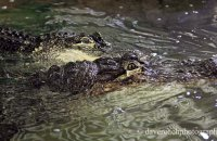 'The Happy Couple - Daisy and Albert' - American Alligator (Alligator mississippiensis)