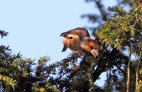(1) Hawfinch feeding on Yew berries