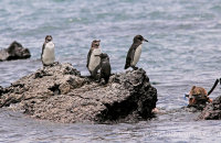 I don't think we're alone!   Galapagos Penguins (Spheniscis mendiculus) at Los Tuneles, Isabela