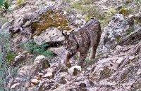 Iberian Lynx (Lynx pardinus) 'Datura'