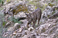 Spain - Doñana and Iberian Lynx