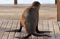 I'll miss my boat!  Galapagos Sealion (Zalophus wollebacki)