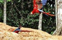 Incoming Scarlet Macaw (Ara macao)