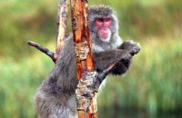 Japanese Macaque 'Snow Monkey' (Macaca fuscata)