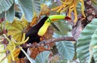 Keel-billed Toucan (Ramphastos sulphuratus)