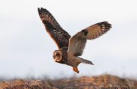Short-eared Owl hunting at dusk