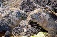 Land Iguanas (Conolophus subcristatus)