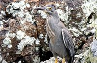 Lava Heron well disguised against the lava rocks  (Butorides sundevalli)