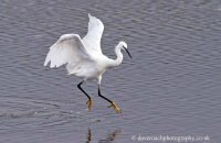 Little Egret fishing 2 (Egretta garzetta)