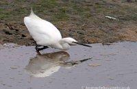 Little Egret fishing (Egretta garzetta)