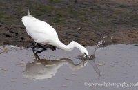 Little Egret striking (Egretta garzetta)