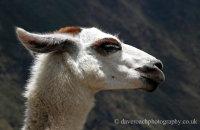 Llama in profile  (Lama glama)