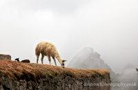 Llamas in the  mist