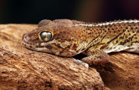 (i) Madagascan Ground Gecko (Paroedura pictus)