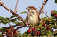 Male House Sparrow feeding on blackberries 2 (Passer domesticus)