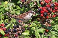 Male House Sparrow feeding on blackberries (Passer domesticus)
