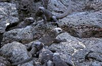 Marine Iguanas on black lava rocks  (Amblyrhynchus cristatus)