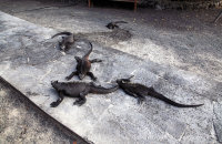 Marine Iguanas sleeping on the path at Puerto Villamil jetty (Amblyrhynchus cristatus)