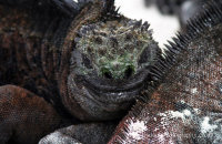 Marine Iguanas (Amblyrhynchus cristatus)
