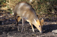 Muntjac searching for food