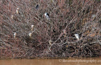 Night Heron (Nycticorax nycticorax) roost