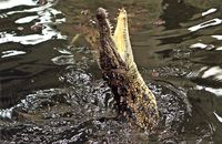 Nile Crocodile leaping for food - (Crocodylus niloticus)