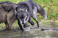 Northwestern Wolf (Canis lupus occidentalis) 10