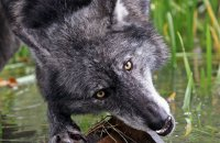 Northwestern Wolf (Canis lupus occidentalis) 11