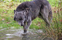 Northwestern Wolf (Canis lupus occidentalis) 12