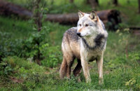 Northwestern Wolf (Canis lupus occidentalis) 1