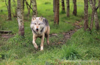 Northwestern Wolf (Canis lupus occidentalis) 2