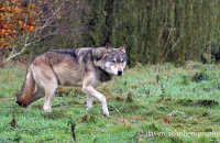 Northwestern Wolf (Canis lupus occidentalis) 3
