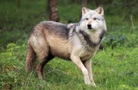 Northwestern Wolf (Canis lupus occidentalis) 5