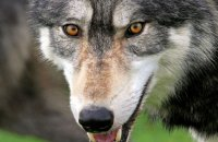 Northwestern Wolf (Canis lupus occidentalis) 6