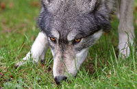 Northwestern Wolf (Canis lupus occidentalis) 7
