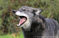 Northwestern Wolf (Canis lupus occidentalis) 8