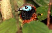 Ocellated Antbird (Phaenostictus mcleannani)