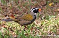 Orange-billed Sparrow (Arremon aurantirostris)
