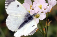 (4) Female Orange Tip