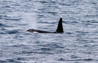 (1) Orca photographed from the harbour at Grundarfjörður