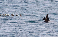 (2) Orcas approaching a raft of Eiders. The birds were wary even though Icelandic Orcas feed upon herring