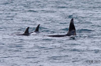 (2) Two female Orcas and one male, with much larger dorsal fin