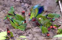 Parakeets at a clay lick