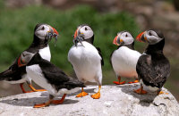 Puffins with Sand eels (or not!) (Fratercula arctica)