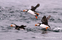 Puffins taking off from the sea (Fratercula arctica)