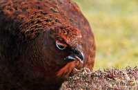 (xviii) Male Red Grouse feeding on new heather growth