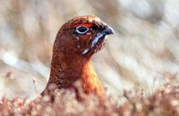 (ii) Usual view of a grouse