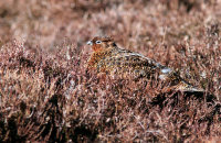 (vii) Female Red Grouse well disguised on the heather